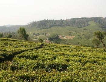 Индийские чайные плантации. Фото: epochtimes.com