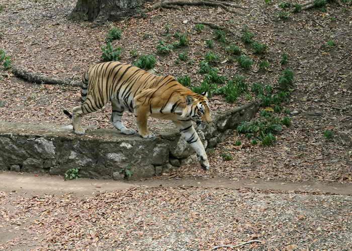 Королевский бенгальский тигр. Фото: RAVEENDRAN/AFP/Getty Images