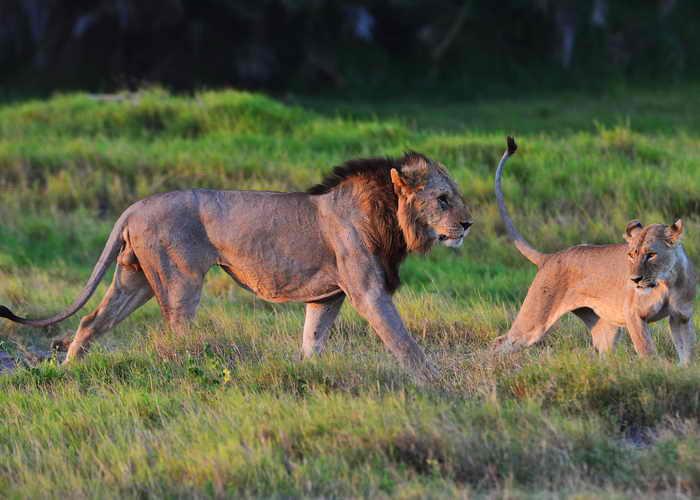 В Западной Африке львы находятся под угрозой исчезновения. Фото: CARL DE SOUZA/AFP/Getty Images