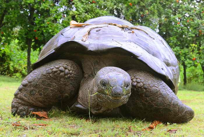 Галапагосская черепаха. Фото: Shutterstock*