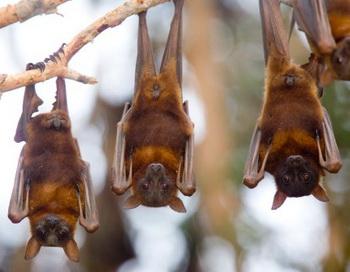 Учёные обнаружили новый подтип вируса гриппа А, переносчиками которого являются фруктоядные летучие мыши в Гватемале. Фото: Bob Stefko/Getty Images
