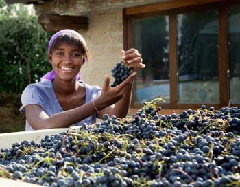 Флавоноиды из винограда помогают уничтожать раковые клетки раньше, чем у них есть шанс развиться или стать злокачественными. Фото: Emma Innocenti/Getty Images