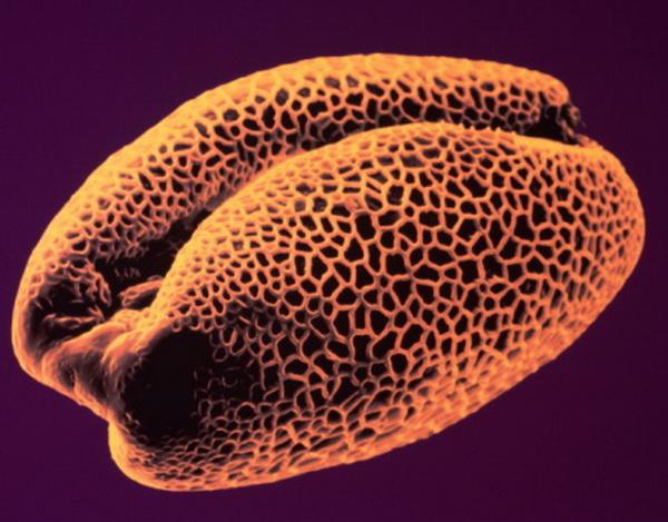 Айрис. Пыльца - аллерген, который является причиной сенной лихорадки. Пыльца дерева вызывает сенную лихорадку весной, пыльца травы летом. Симптомы аллергической реакции включают острый насморк, воспаление горла и глаз.  Фото: S. Lowry/Univ Ulster/Getty Images