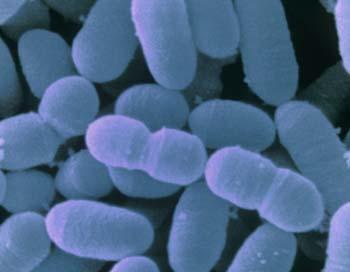 У женщин микрофлора в основном представлена лактобактериями, закисляющими среду посредством разложения гликогена. Фото: SIMKO/Getty Images