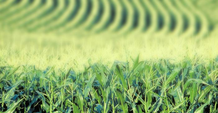 Судя по всему, в недалёком будущем выращивание ГМО станет уделом стран третьего мира, в том числе и России. Фото: gmo-awareness.com