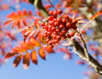 Рябину я заготавливаю осенью и не обязательно после заморозков. Фото: Martin Child/Getty Images