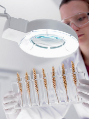 Хотя уникальные свойства зародышей пшеницы известны человечеству с давних времен, и сегодня ученые не перестают находить в них что-то новое. Фото: Adam Gault/Getty Images