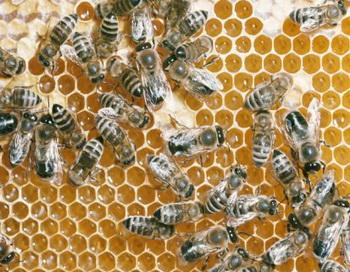 Маточное молочко – продукт жизнедеятельности пчел, который обладает удивительными свойствами. Фото: Peter Arnold/Getty Images