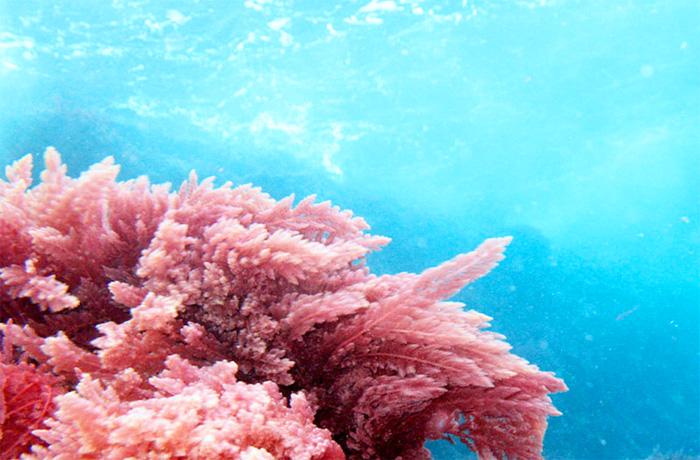 Красные водоросли на протяжении столетий использовались в восточной медицине как эффективное средство от онкологических заболеваний и особенно рака груди. Фото: cellnique.com