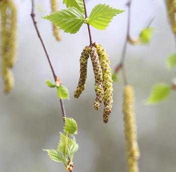 Пыльца деревьев разносится в воздухе задолго до появления первых листьев. И аллергикам важно правильно подготовиться к этому моменту. Фото: Andreas Rentz/Getty Images