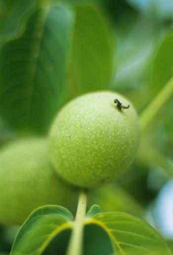 В околоплодниках, защищающих орех, аскорбиновой кислоты в 15 раз больше, чем в чёрной смородине. Фото: Vincenzo Lombardo/Getty Images