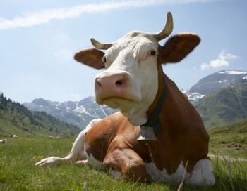 Коровий безоаровый камень - тип жёлчного камня, который растёт у больной коровы. Фото: Digital Zoo/Getty Images