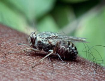 Учёные из Института тропической медицины нашли антитела, которые делают укус мухи цеце не опасным для жизни. Фото: Anthony Bannister/ Getty Images