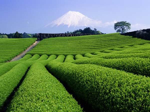 Сочетание кофеина и чайной аминокислоты теанина взаимно усиливают эффекты. Фото: Toyofumi Mori/Getty Images