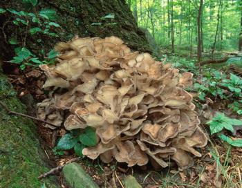 Мейтаке - это съедобный гриб, который произрастает на дубах. Фото: Michael P Gadomski/Getty Images