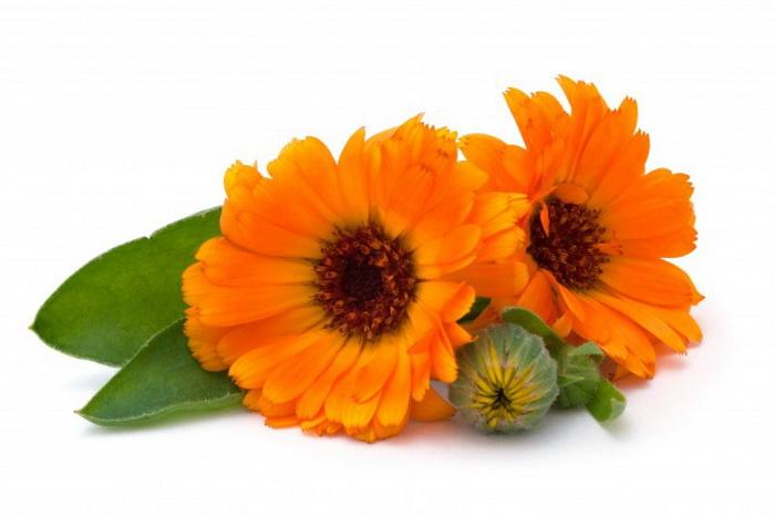 Ноготки, или календула (Calendula officinalis), — лекарственное растение, помогающее при многих недугах. Фото: Kardash/photos.com