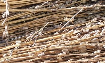 Семена свежесобранного льна. Фото: Dieter Schьtz /pixelio.de
