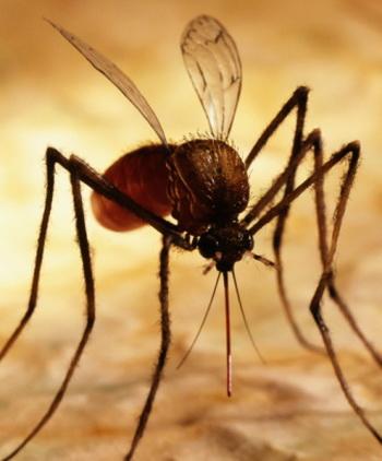 После того, как жертва выбрана, самка комара прокалывает кожу и вводит антикоагулянт, препятствующий свертыванию крови. Фото: Will Crocker/Getty Images