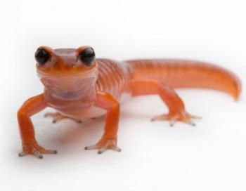 У саламандр и других низших организмов существуют возможности восполнять клеточные потери более ранними формами клеток, создавая новый миокард. Фото: Joel Sartore/Getty Images.