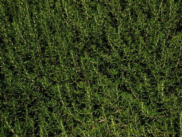 Розмарин – подарок Средиземноморья. Фото: Хава ТОР/Велика Эпоха