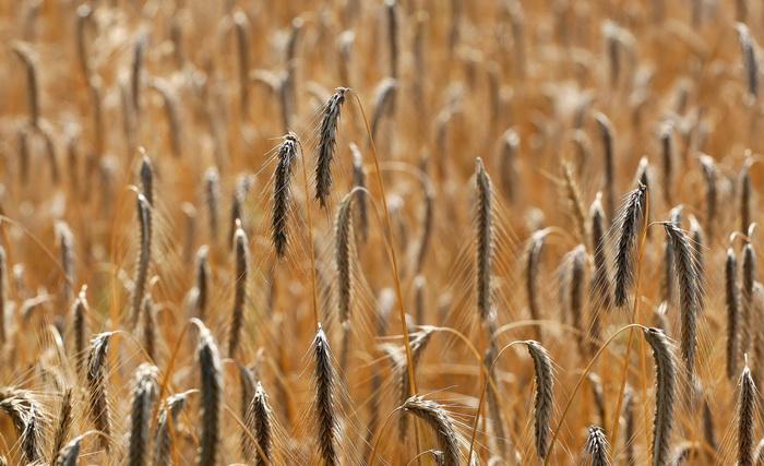 В южной части северного полушария основной зерновой культурой всегда был рис, на уровне средиземноморья — пшеница, в основных пределах России — рожь. Фото: MICHAEL URBAN/AFP/Getty Images