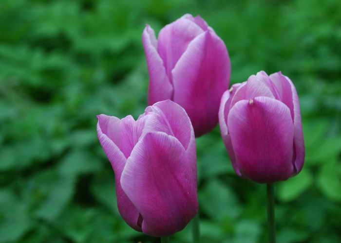 Тюльпаны. Фото: Цигун Юлия/Великая Эпоха (The Epoch Times)