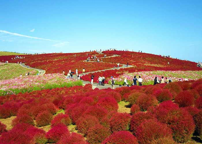 К началу осени кохия в японском парке Хитачи меняет цвет на пурпурно-красный. Фото: cyber0515/flickr.com