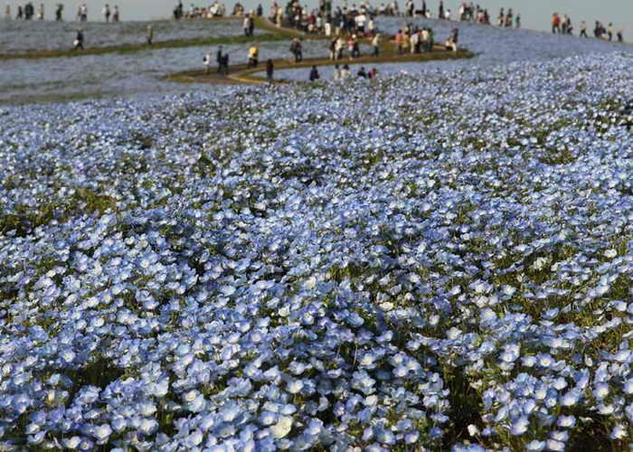 В парке Хитачи расцветают пышным цветом тюльпаны, маки, нарциссы, незабудки, лилии и сакура. Фото: Koichi Kamoshida/Getty Images