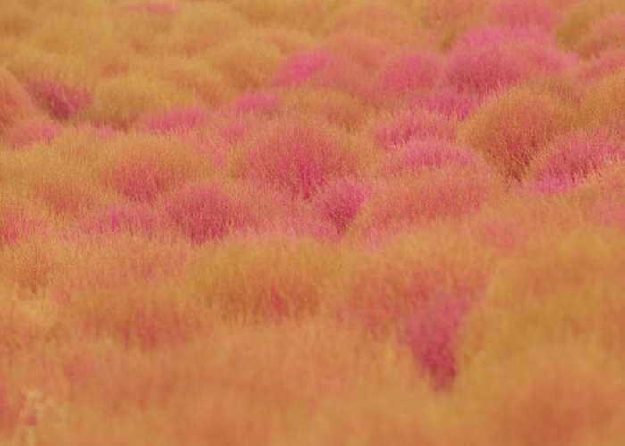 Мохнатые холмики кохии, в начале сентября меняющие цвет с зеленого на оранжево-красный, в японском парке Хитачи. Фото: ajari/flickr.com