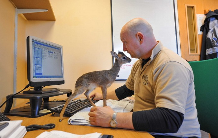 Куратор млекопитающих зоопарка Chester Zoo Тим Роулендс брал домой на воспитание Алуну, так как от неё отказалась мать. Он также брал её с собой на работу. Фото: Chester Zoo