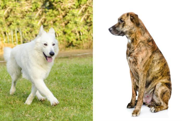 Белая швейцарская овчарка (справа) и дворняжка (слева). Фото: Shutterstock*