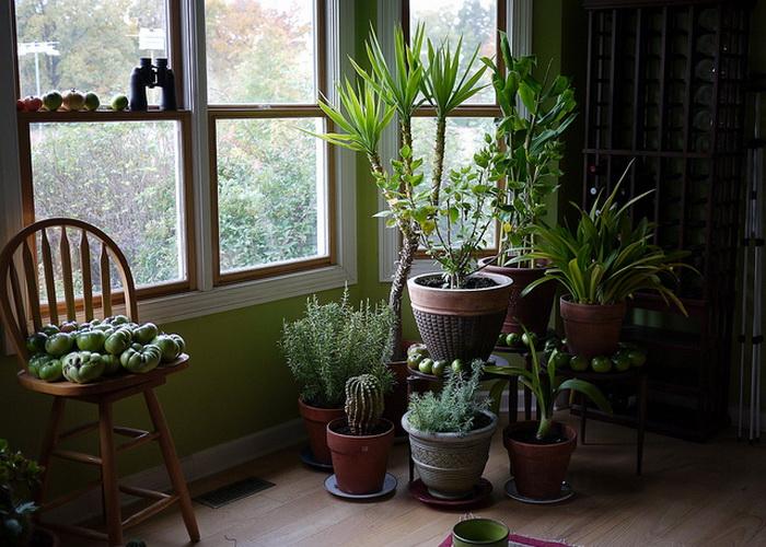 Комнатные растения, опасные для здоровья. Фото: F. D. Richards/flickr.com