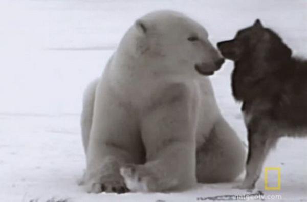 Белые медведи и собаки встречаются каждую осень неподалёку от города Чарчилл провинции Манитоба, Канада. Фото: NationalGeographic.com