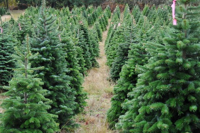 Ферма новогодних ёлок в Орегоне, США. Фото: Shutterstock*