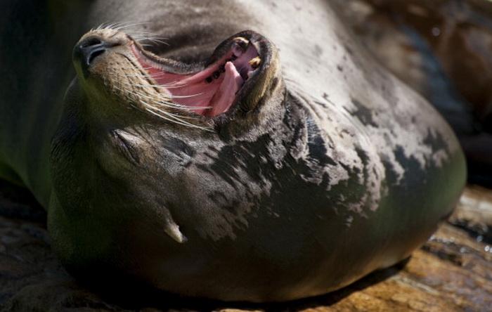 Одним из зевающих существ является тюлень. Фото: BARBARA SAX/AFP/GettyImages