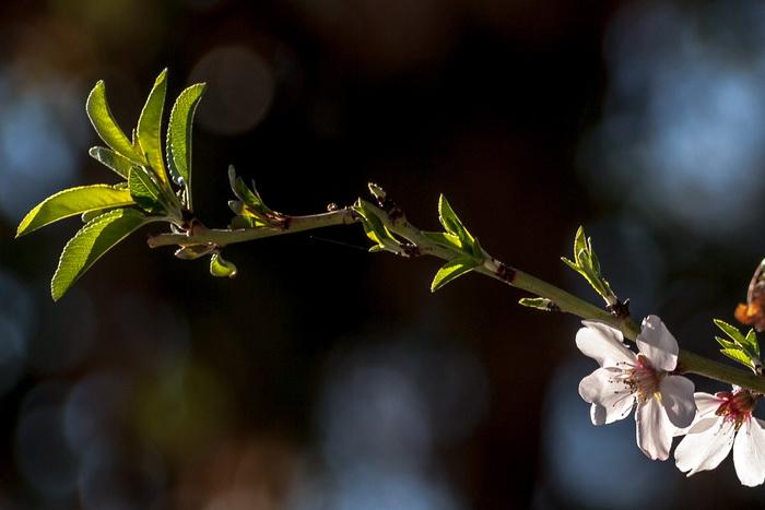 Цветёт миндаль в Израиле. Фото: Хава Тор/Великая Эпоха (The Epoch Times)