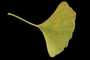 Целебное растение гинкго, которое упоминалось В Книге Перемен. Фото: Великая Эпоха