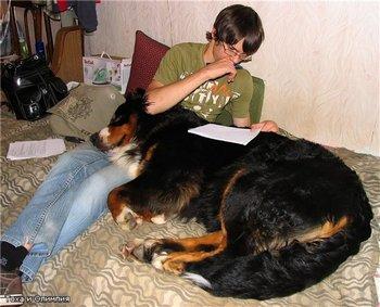 Диванные собачки. Фото с сайта bernclub.ru/forum
