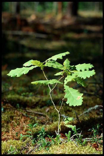Много вырубленных деревьев идёт на распил для разных нужд. Из одной их части  делают доски для изготовления мебели, из другой - ДСП по размерам. Поэтому посадка новых саженцев входит в план восстановления природной среды. Фото с сайта liveinternet.ru.
