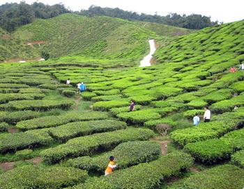 Китайские чайные плантации. Фото: Lilly Wang, ET staff