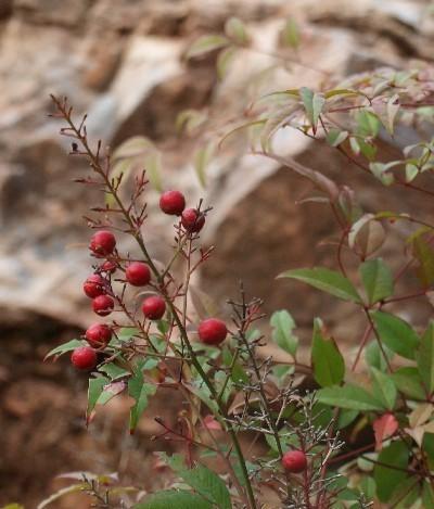 С Таней Шимель по ботаническому Иерусалиму. Нандина. Фото: Hava Tor. Великая Эпоха (The Epoch Times)