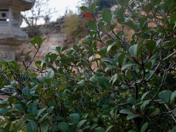С Таней Шимель по ботаническому Иерусалиму. Рафидолепис. Фото: Hava Tor. Великая Эпоха (The Epoch Times)