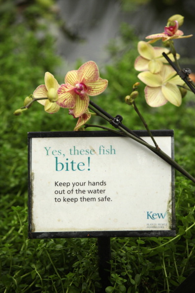 Орхидеи в королевских ботанических садах Англии. Фото: Oli Scarff/Getty Images
