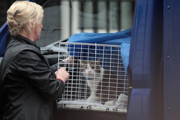 Кот Ларри (Larry) – новый сотрудник британского премьер-министра Дэвида Кэмерона. Фото: Mark Large - WPA Pool / Getty Images