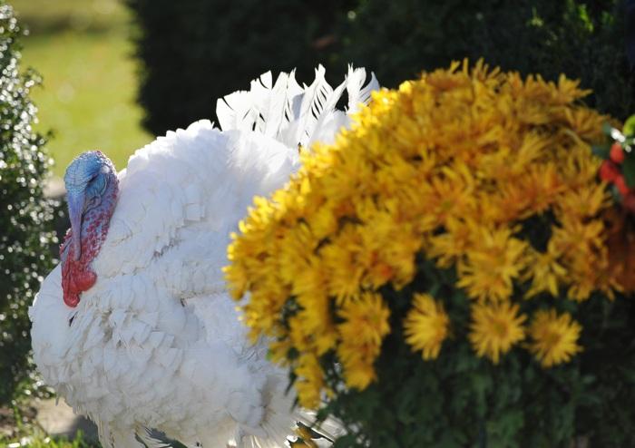 Барак Обама с семьёй отметил День благодарения в Белом доме. Фоторепортаж. Фото: Alex Wong/Getty Images