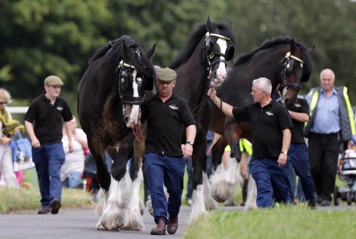 Лошади на пивоварни получают к отпуску пиво.  Фоторепортаж. Фото: Matt Cardy/Getty Images