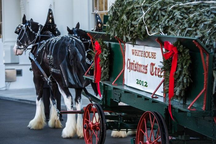 Рождественская ёлка прибыла в Белый дом. Фоторепортаж из Вашингтона. Фото: Brendan Hoffman/Getty Images