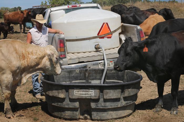 Засуха в Иллинойсе лишила скот корма. Фоторепортаж. Фото: Scott Olson/Getty Images