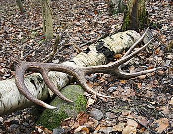 Кто нашел рога, не должен их подбирать. Фото с сайта epochtimes.de