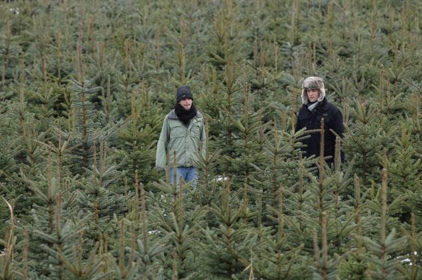 Рождественские елки, выращенные на ферме в Германии, на Рождество пользуются большим спросом. Фото: Andreas RENTZ/Getty Images